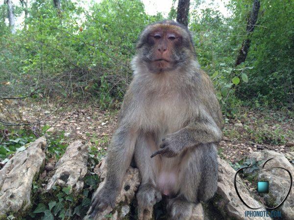 humour-quand-les-singes-sont-saoules-par-les-rumeurs-sur-l-iphone-6_3