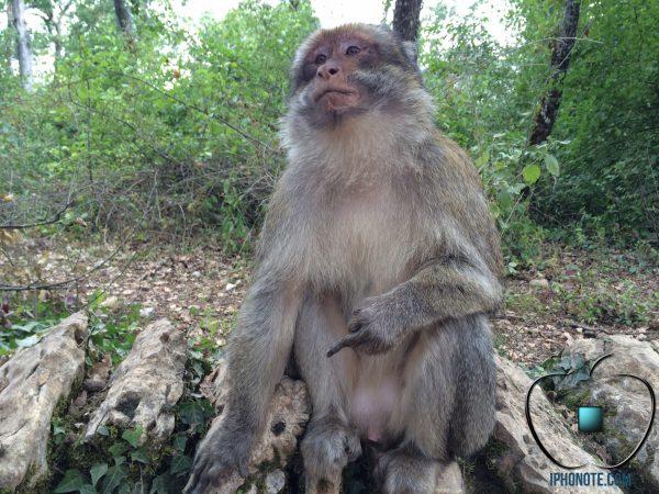 humour-quand-les-singes-sont-saoules-par-les-rumeurs-sur-l-iphone-6_4